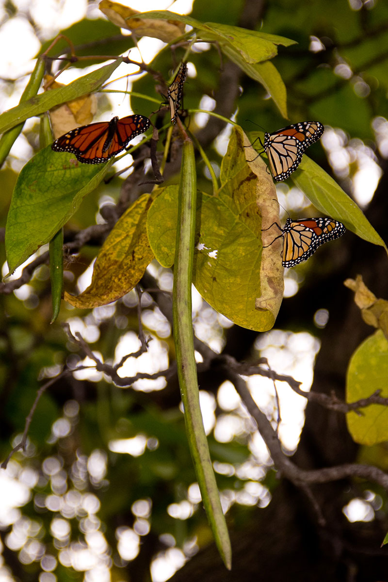 Monarchs and catalpa